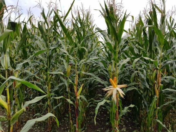 Maispflanze Cesone Profi HS (FAO 250/260)