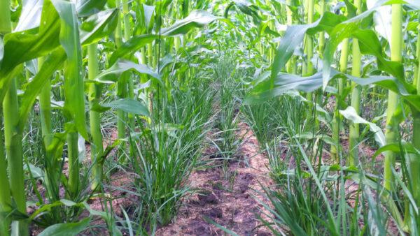 Proterra Rohrschwingel Maisuntersaat