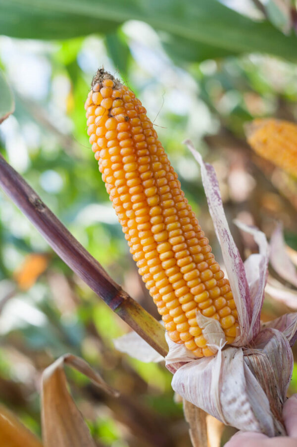 Kosynier HS (FAO 220) Maissaatgut