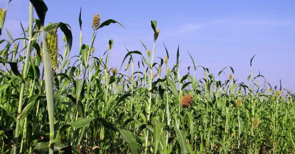 Sorghum Mais Alternative Biogas