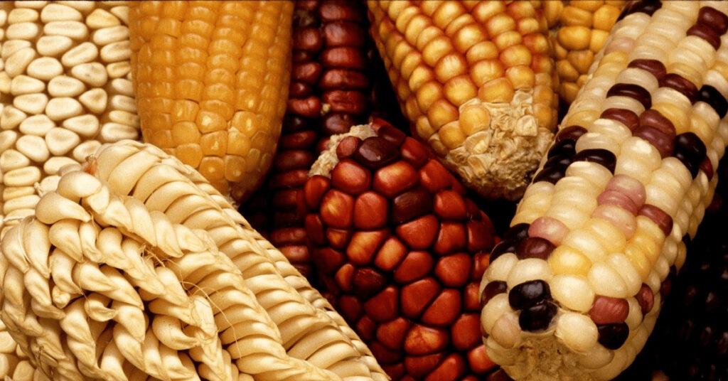 Sortenwahl, Mais, Reifezahl, Klima, Typ, Silomais, Körnermais