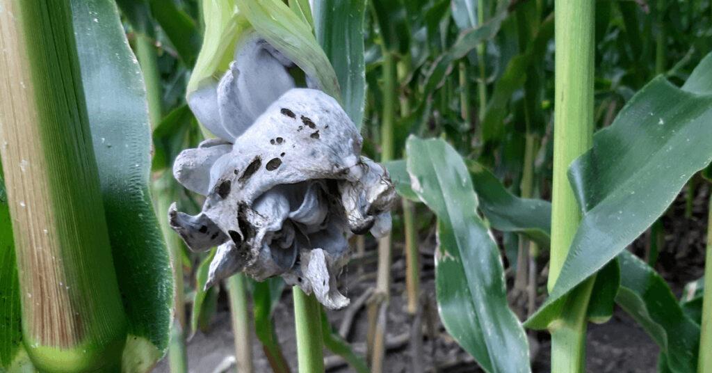 Mais Krankheiten Beulenbrand Maisfeld Körnermais Silomais CCM Landwirt